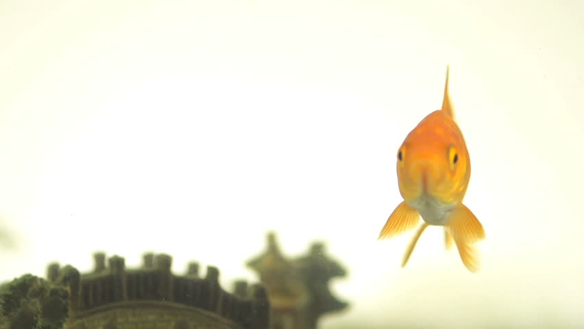 Funny Slow Motion Shot Of A Goldfish Releasing A Single Water Bubble With Difficulty.