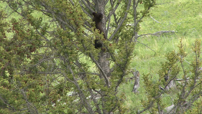A black bear cub pauses for a scratch on his way down a tree.