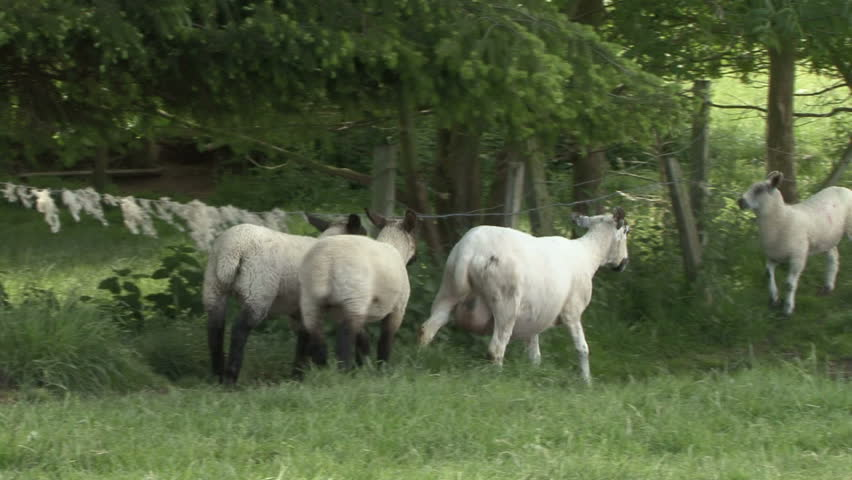 Ewe and her lambs walk. HD.