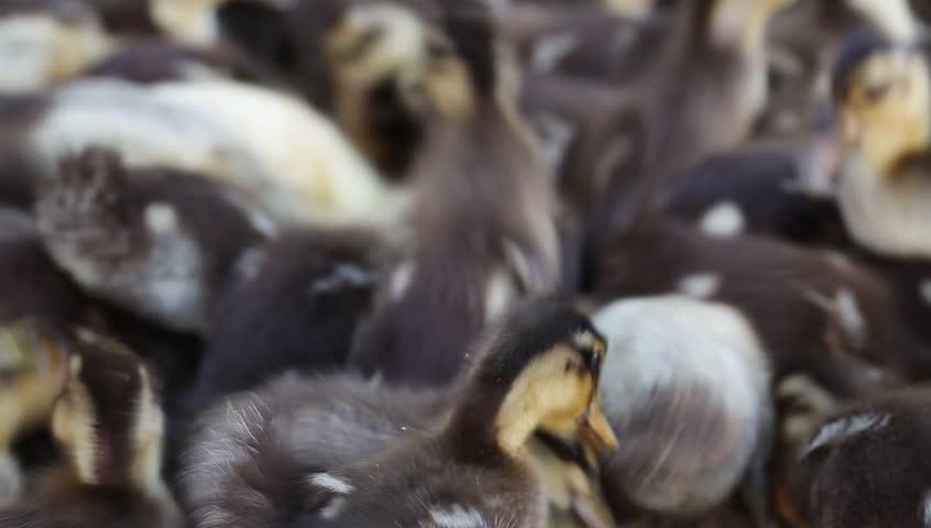Crowd of ducks feeding  | Shutterstock HD Video #4674923