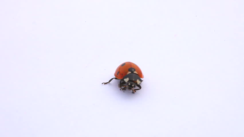 ladybug on the white background
