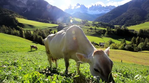A pair of cows graze on a grassy hillside near the rural village of Val di Funes with the Italian Alps in the distance