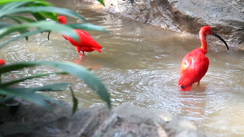 Scarlet ibis bathing and fighting