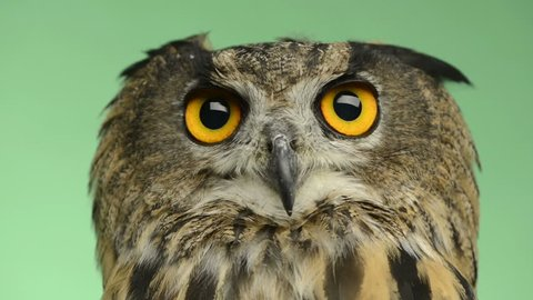 Close-up of an Eurasian eagle owl looking around, green key