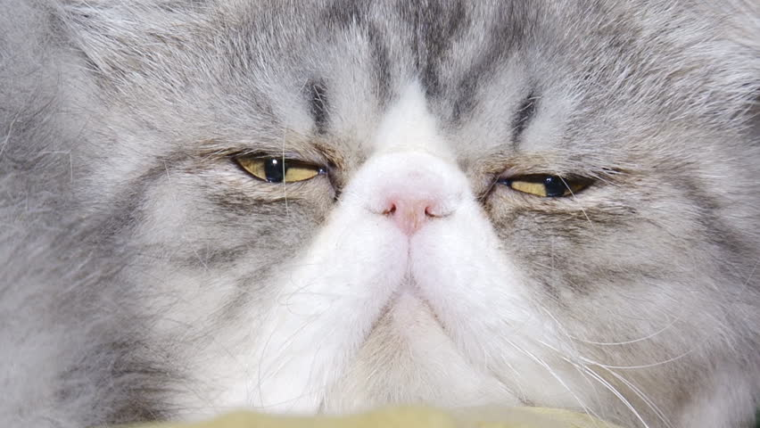 close-up - funny purebred cat