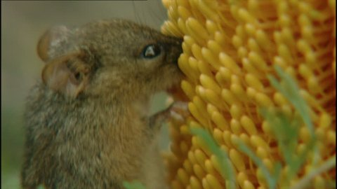 Honey possum feeding on banksia