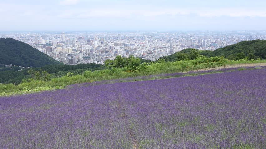 Small Lavender field on Maruyama Nishimachi area with view of Sapporo city as background, Hokkaido, Japan.