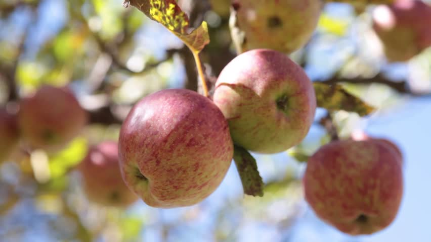 Static Shot: Close up of apples in a tree. Apples trees of Marpha, Mustang, Nepal. Marpha is also know as the apple capital of Nepal and produces one of the best qualities of apple.