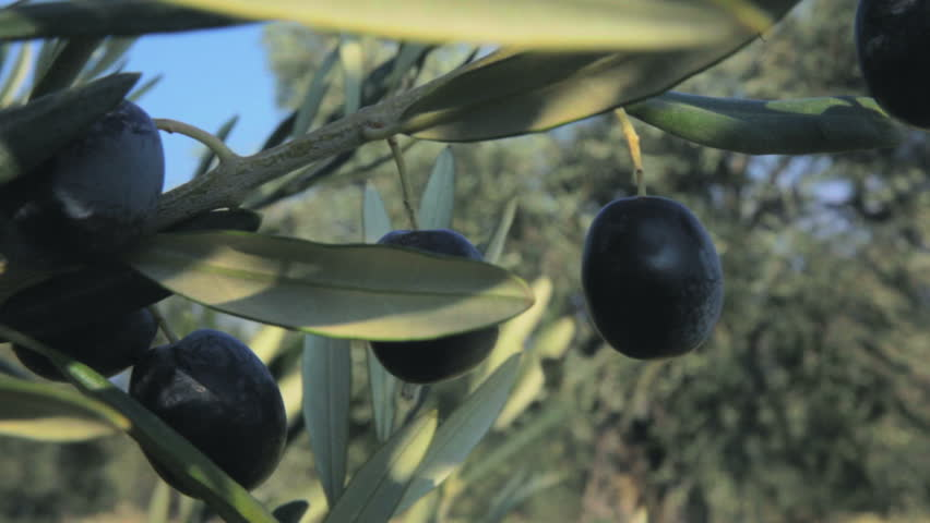 Olive Tree Branch  (2 Pack). 2 Footages in 1 Pack. An olive tree branch has full of ripe fruits. Original Professional Full HD Shot; High Definition Footage