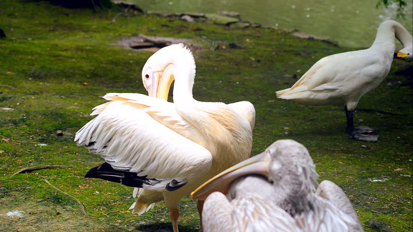 Pelicans and goose near pond