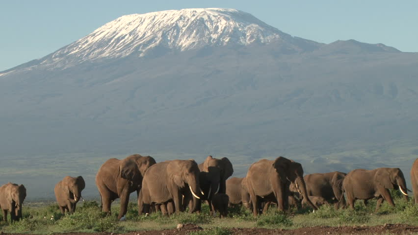many elephants coming from kilimanjaro to the swamps of amboseli.