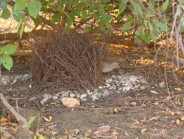 Great Bowerbird (chlamydera nuchalis) building, maintaining his bower and hops out. Only a male with a successful bower can attract mates.