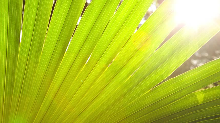 Tropical palm frond in sunlight with dark shadow dancing with light and lens flare.