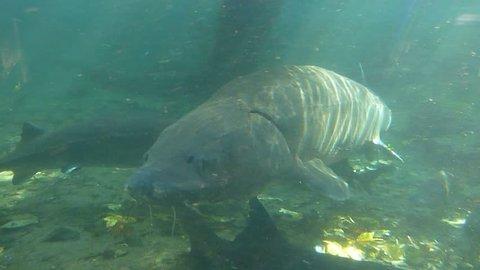Large fresh water sturgeon swimming by camera.