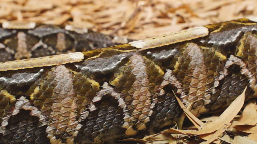Gaboon Viper (bitis Gabonica), is Stock Footage Video (100% Royalty-free)  5008583 | Shutterstock