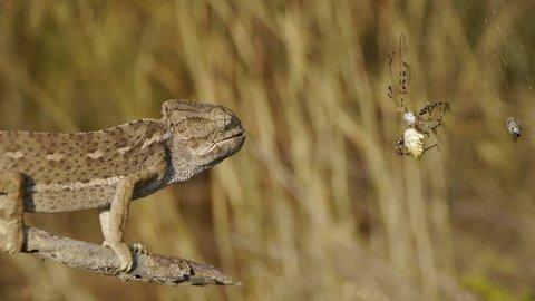 chameleon hunting spider Argiope