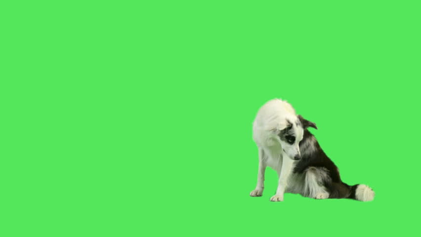 Dog laying down and rolling over in green screen studio