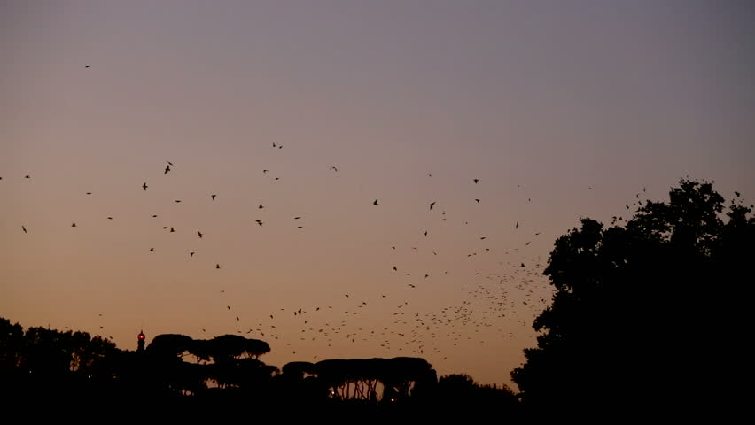 Starling choreography at sunset in Rome.