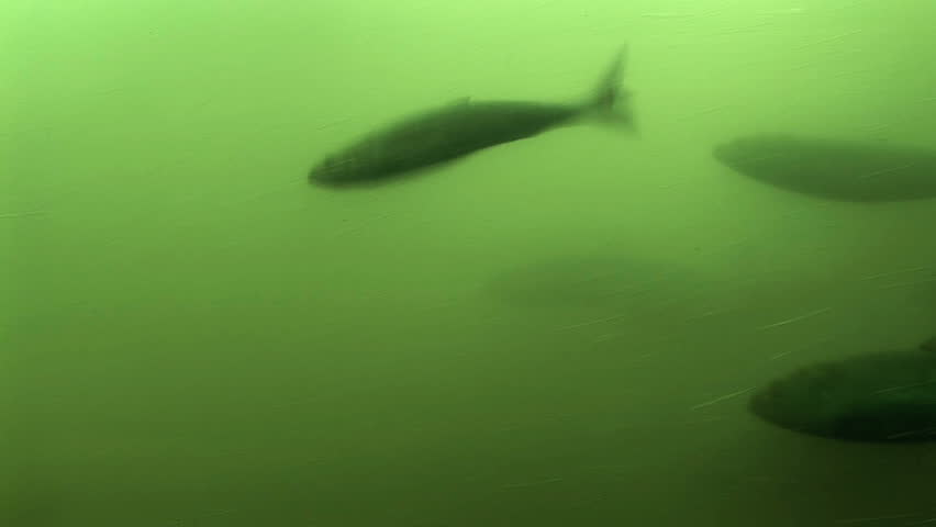 Underwater shot of fish swimming up a manmade fish ladder at the Bonneville Dam, Oregon