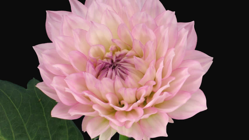 Time-lapse of blooming pink dahlia (georgine) flower 4x1 in PNG+ format with alpha transparency channel isolated on black background
