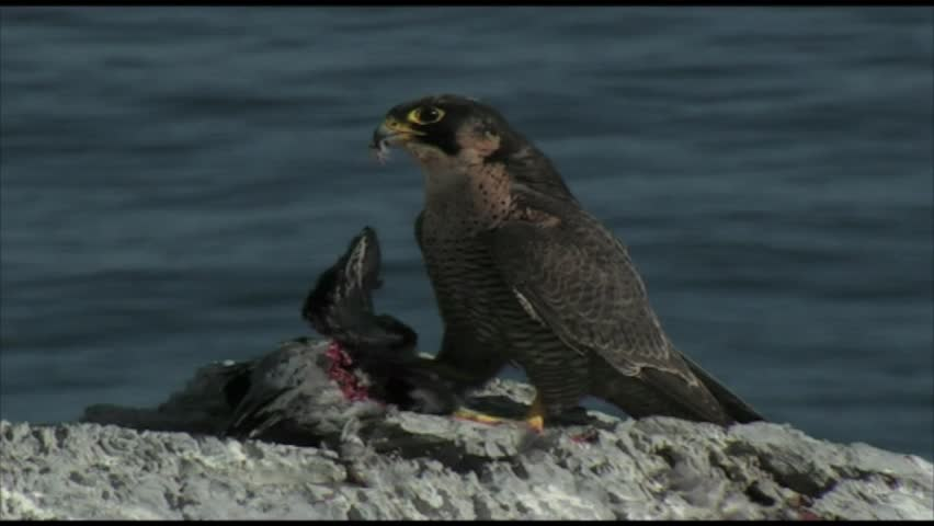 peregrine falcon eating a pigeon on the cliff