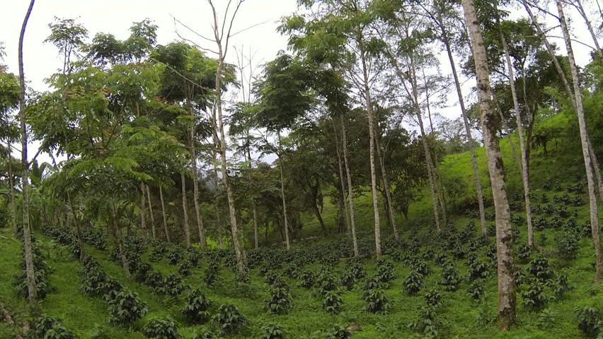 Flying through a shade-grown organic coffee plantation on the Pacific slopes of the Andes in Ecuador