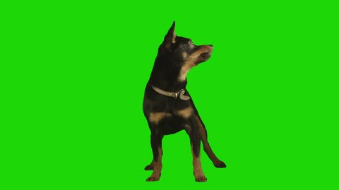 Pack of two. Standing black small dog looks arround and up excited on green screen. Shot with Red camera. Ready to be keyed. Pack of two different videos