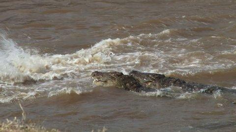 crocodiles hunt wildebeests together