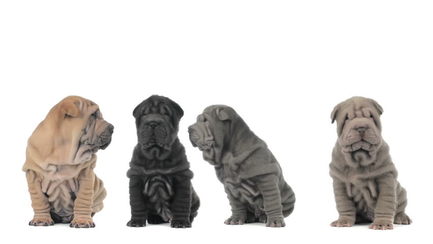 Four shar pei puppies sitting and looking around