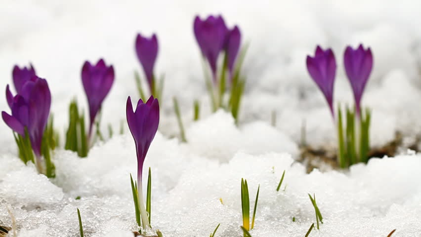 Stock video of crocus flowering from the snow early 14549026 hd0011beautiful spring crocuses in the snow mightylinksfo