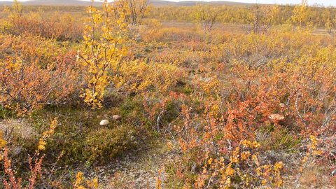 dolly-shot of tundra vegetation
