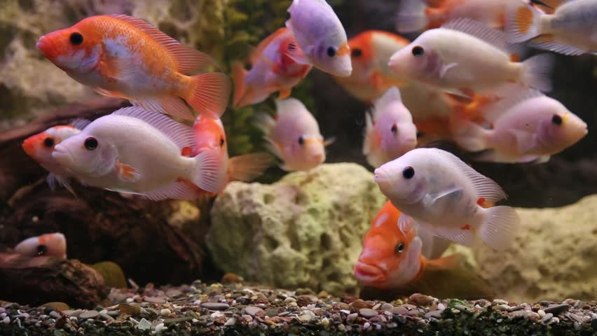 Tropical Freshwater Aquarium With Big Stock Footage Video 100