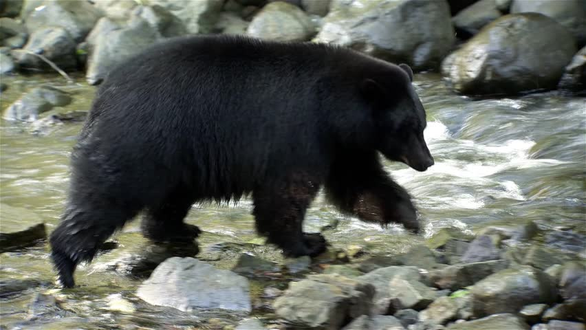 Black bear walking on rocks along the shoreline of a stream.