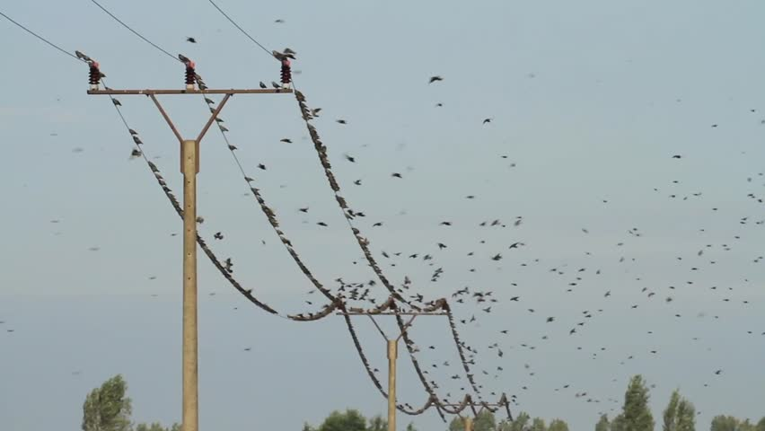 Starlings starting and landing on a power supply line