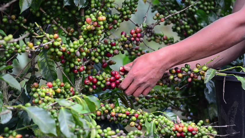 Harvesting coffee berries.
