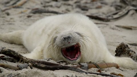 A sweet little one day old grey seal pup yawns. Funny scene. 11259