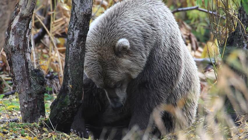 Bear portrait   Shutterstock HD Video #5259353