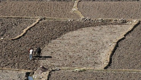 Farmer use cattle plowing dried land.