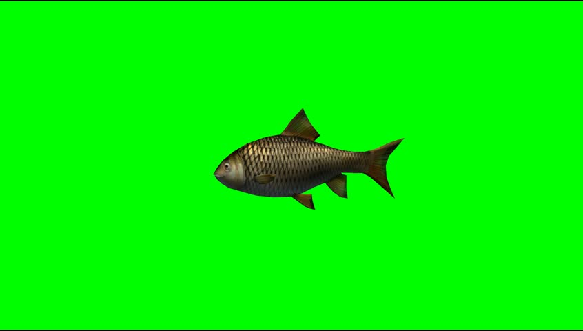 Fish swim animal green screen video Footage #5273483