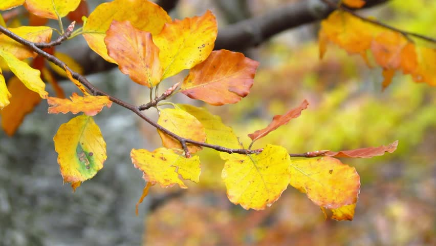 Beech leaves in autumn colors - tilt up