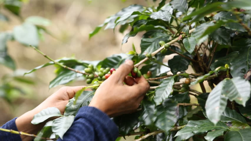 farmer hand picking arabica coffee berries in red and green on its branch tree at plantation