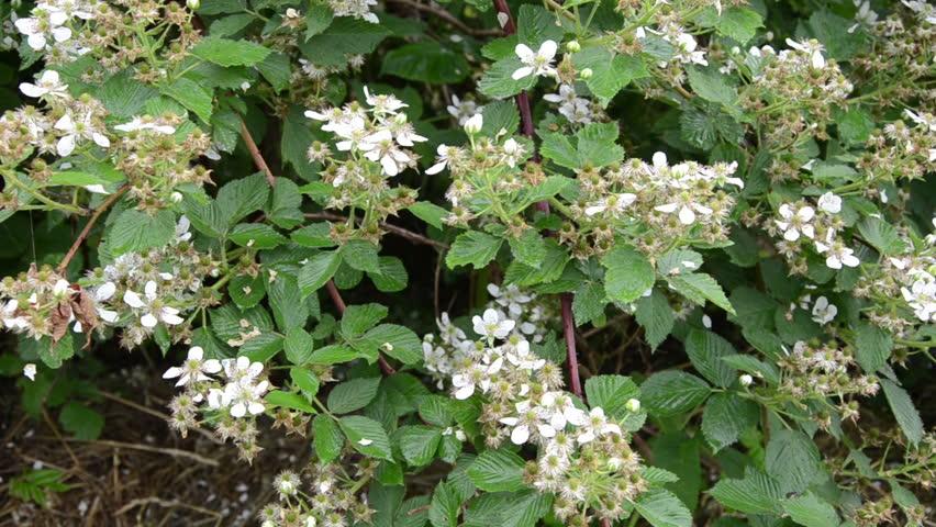Deflorate Green Blackberry Bush In The Rain Dropping Small White Petals Closeup Hd Stock
