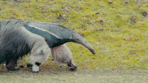 Giant Anteater talking a walk