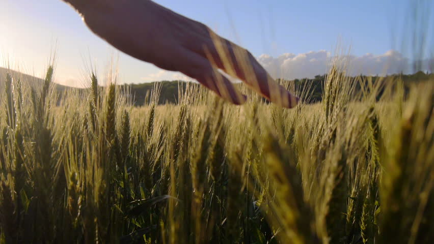 Hand touching the wheat