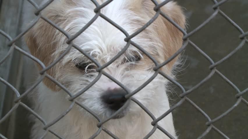 Sad Pit Bull Puppy Dog Eyes Nervous In Shelter Behind