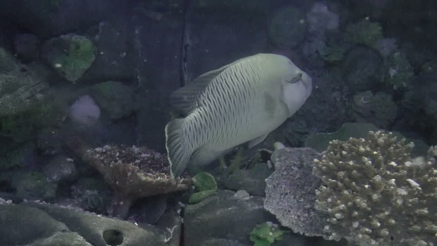huge fish, fishes species on fishtank with corals, hd clip