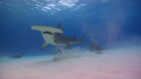 Great Hammerhead feeds off the bottom then another hammerhead comes in to see what is going on.