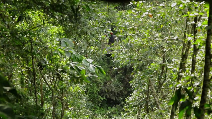 Women Riding A Zip Line Over Tree Canopy , Ecuadorian Andes  | Shutterstock HD Video #5555603