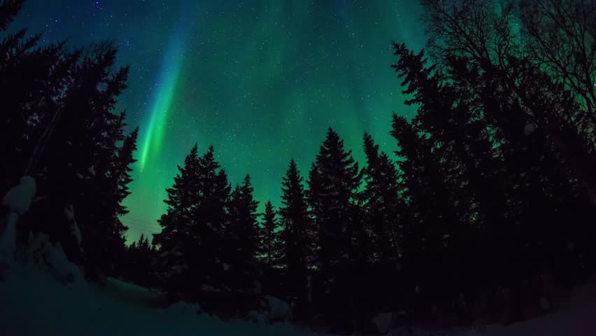 Aurora borealis dancing upon a pine forest in norway