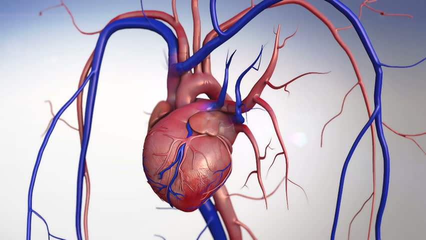 heart, Human heart model, Human Heart Anatomy, Artery, artery shown with a cut out section,  High quality rendering with original textures and global illumination, Contraction of blood vessels  - HD stock footage clip
